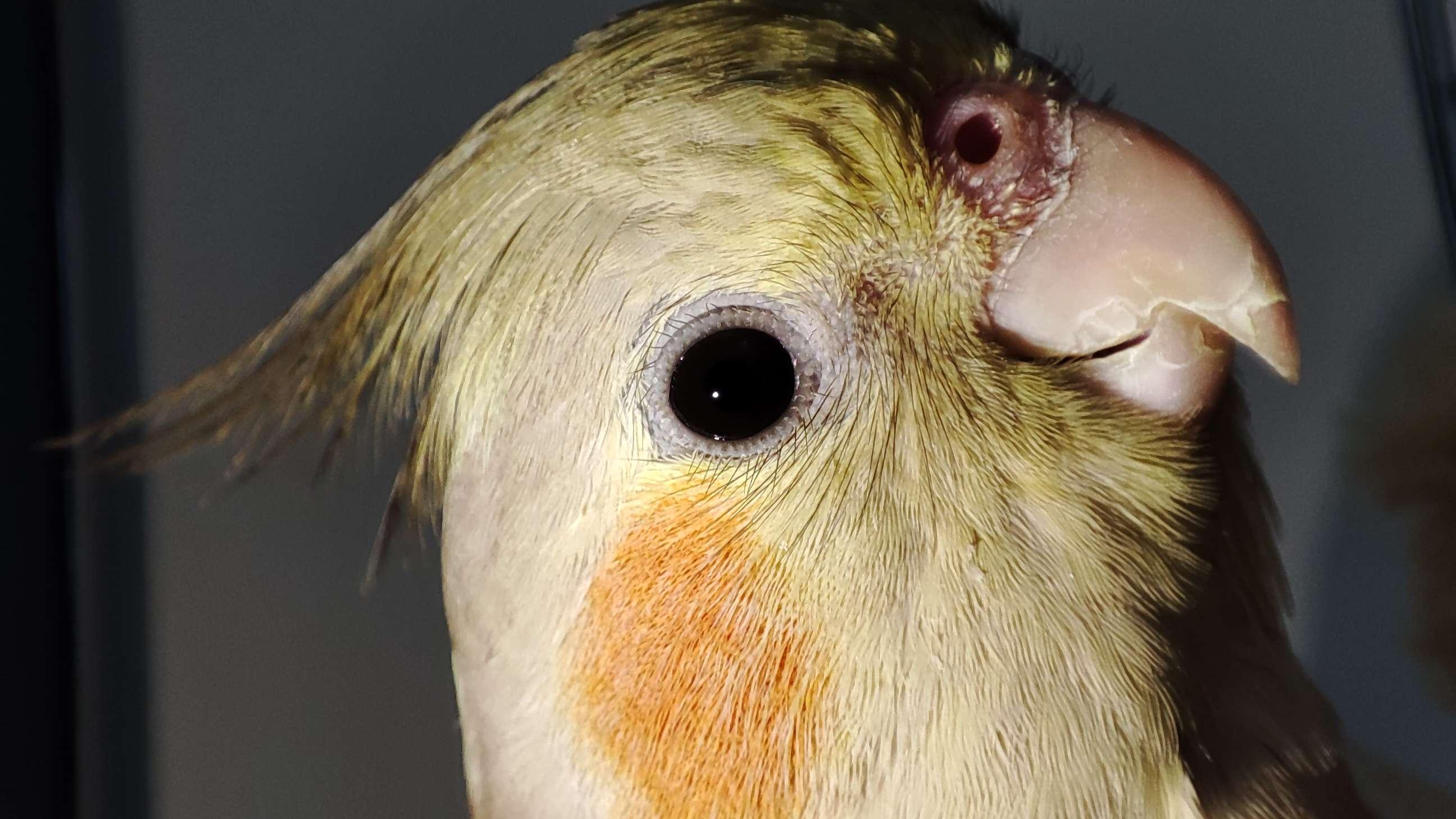 Sultan Papağanımız kaçtı