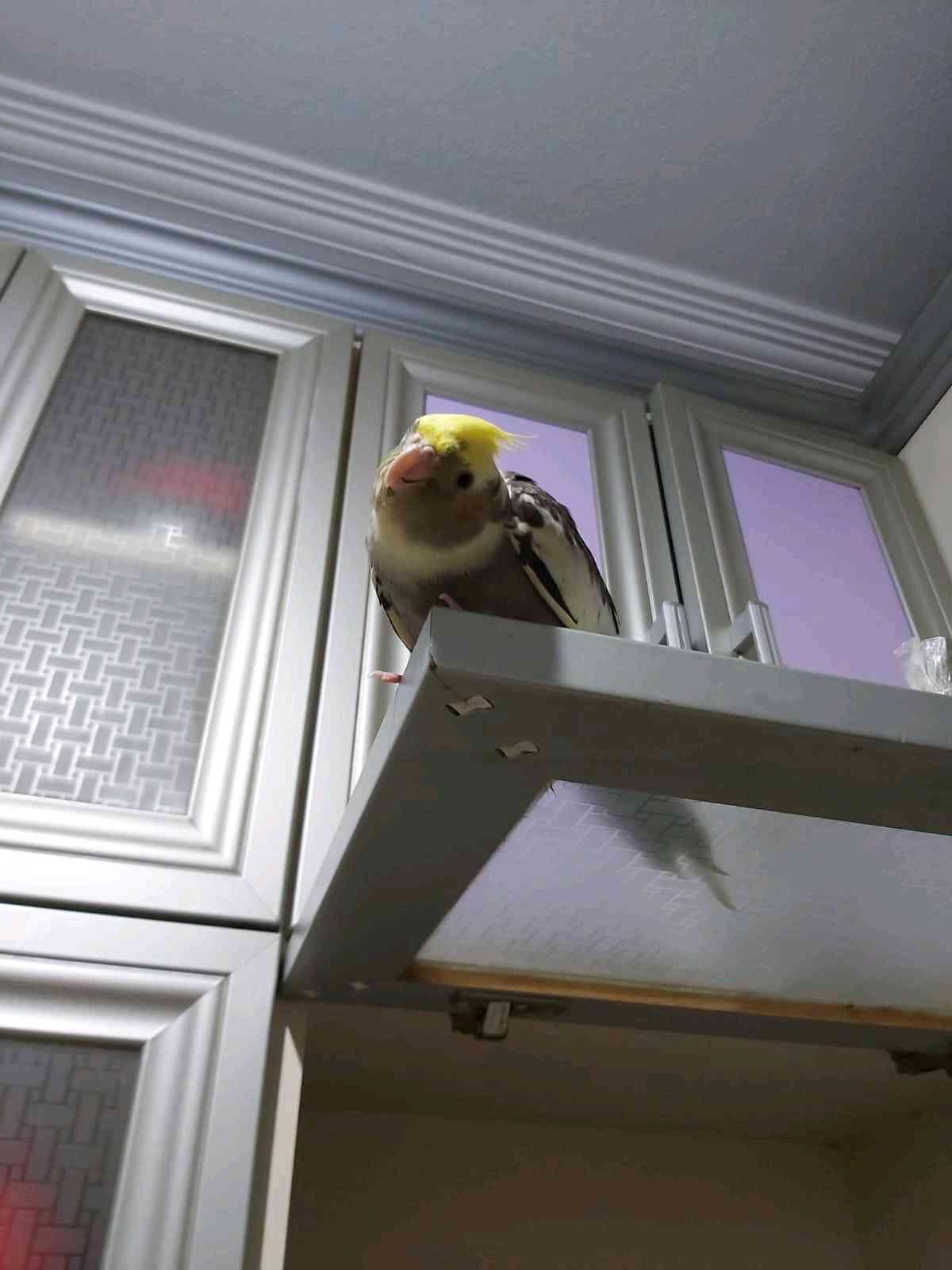 İstanbul Zeytinburnunda gri sarı sultan papağanı kaybol