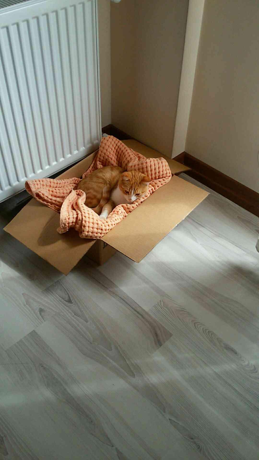 Sivas Seyrantepe'de sarı gözlü ŞAKİR kedim kayboldu!