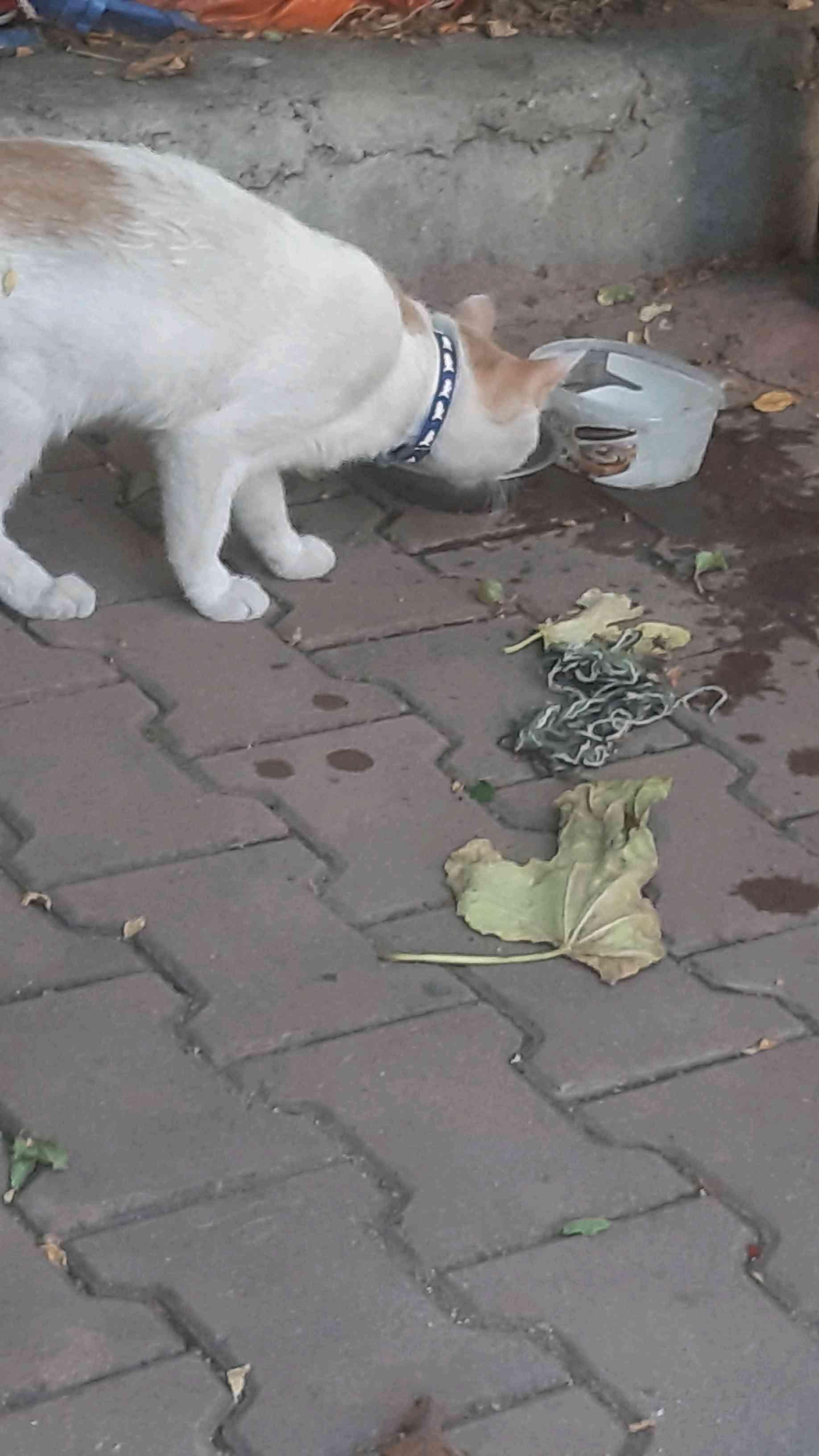 Kahramanmaraş Namık Kemalde kayıp olan van kedimiz.