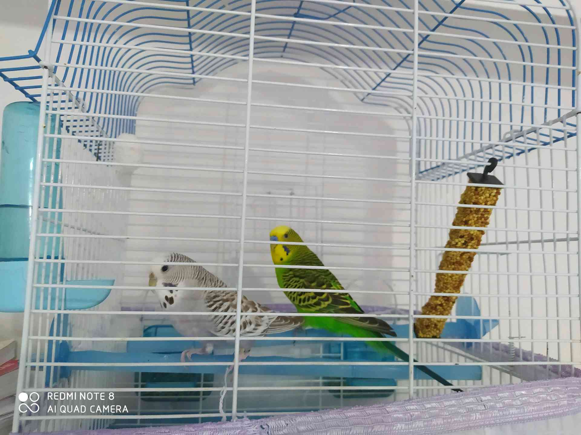 yeşil muhabbet kuşum kayboldu