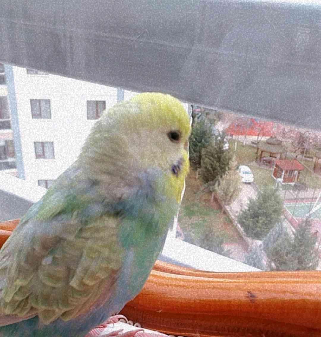 Ankara Eryamanda Muhabbet kuşum kayboldu