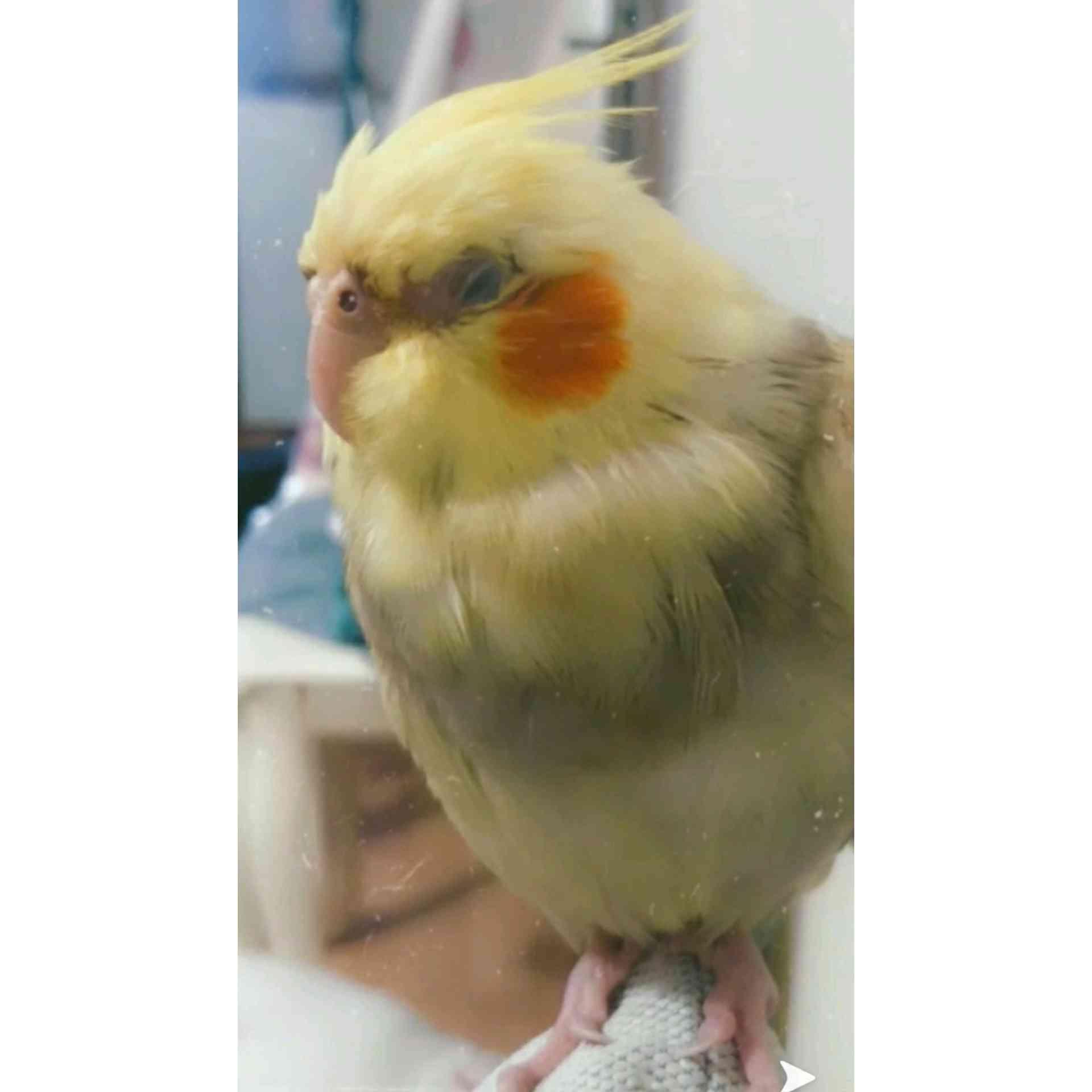 istanbul Maltepe'de Sarı Sultan Papağanım Kayboldu !!!