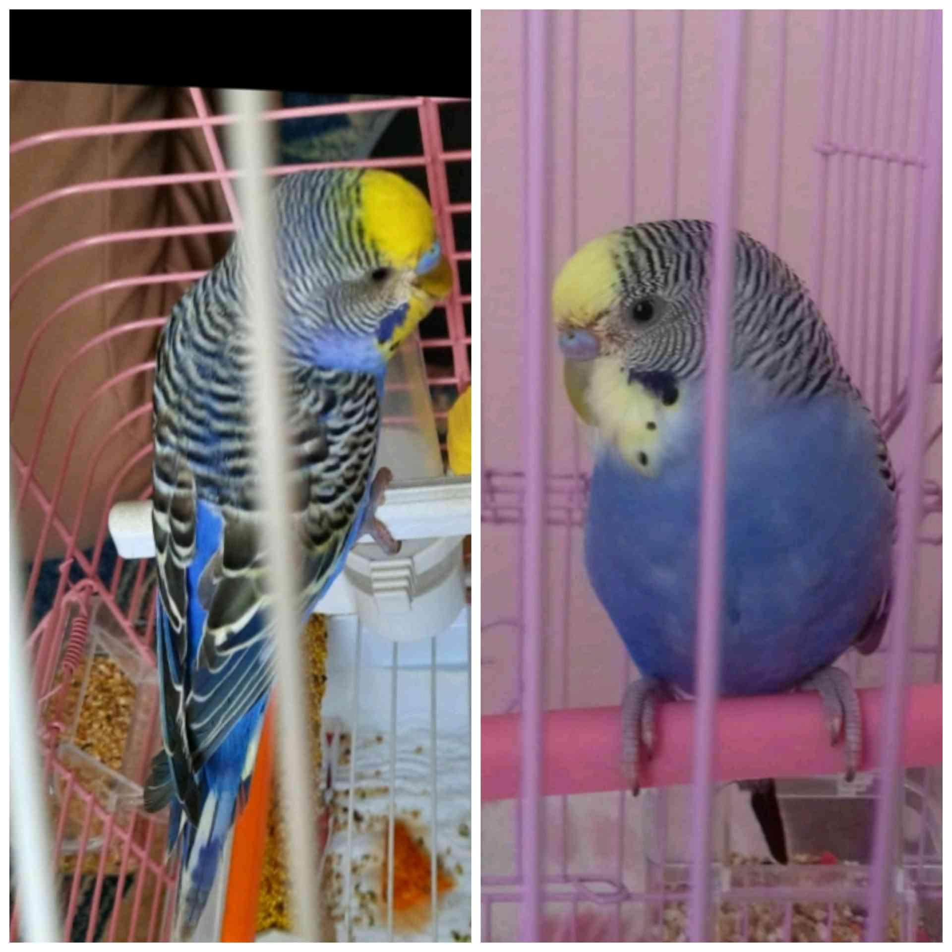 İstanbul Kağıthane'de muhabbet kuşum kayboldu