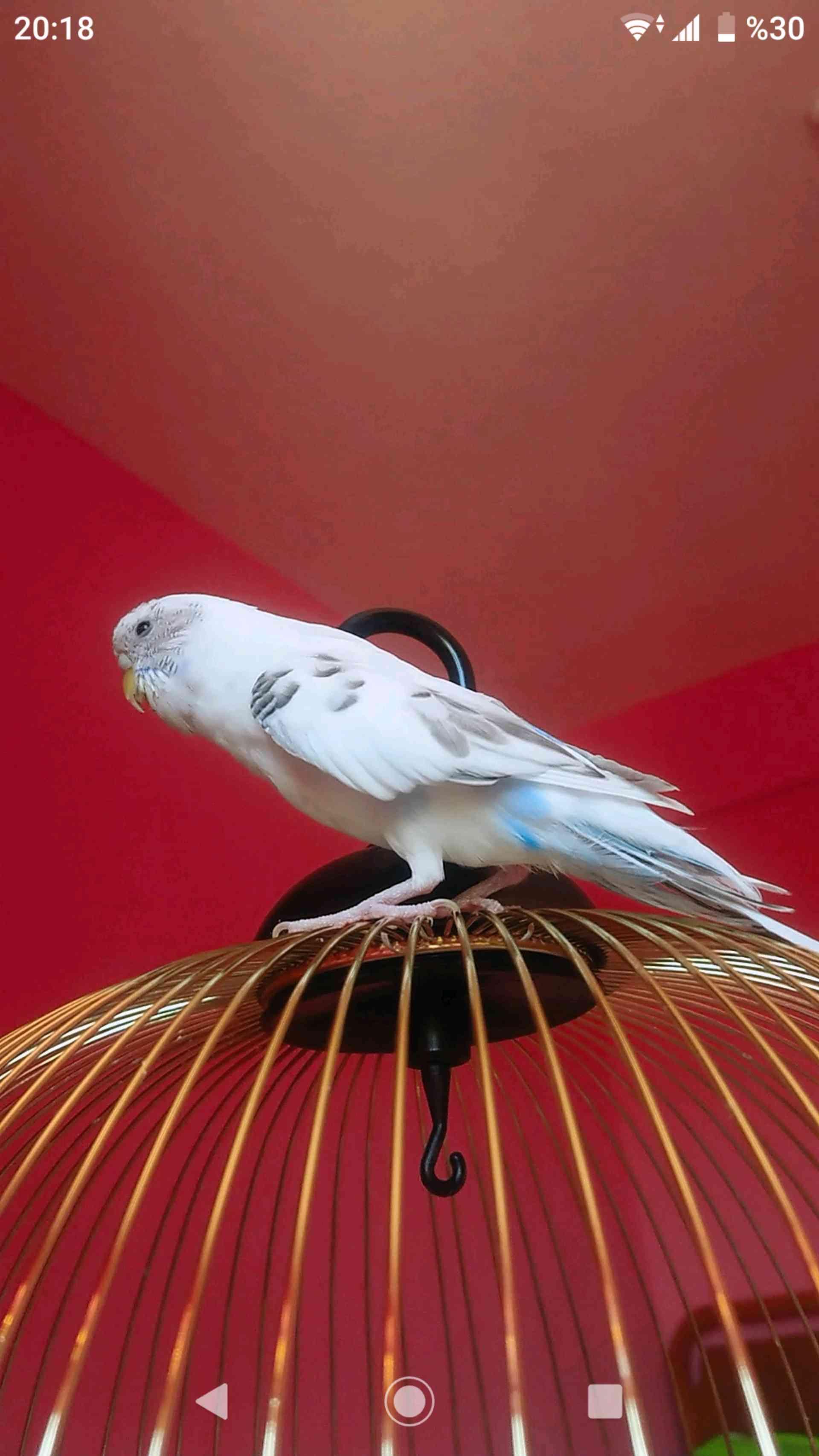 Eryaman KC Göksu da muhabbet kuşum kayboldu