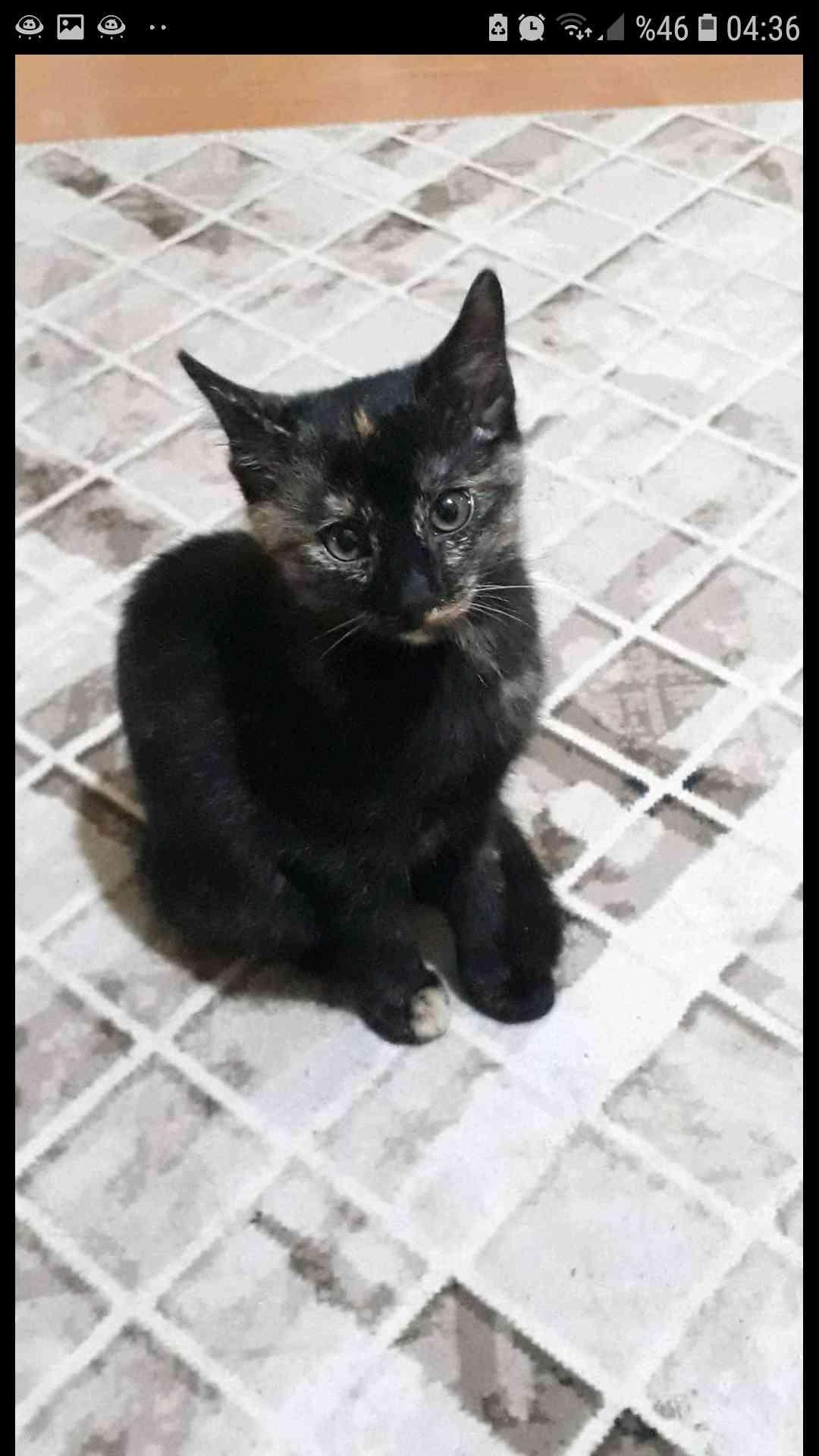 Ankara Mamak Doğukent karisik renkli kedim kayboldu