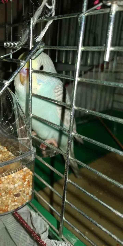 kafası sarı, gri mavi muhabbet kuşum kaçtı