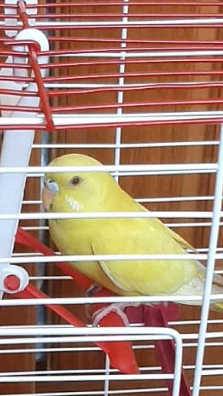 mersin toroslar'da sarı renkli muhabbet kuşum kayboldu