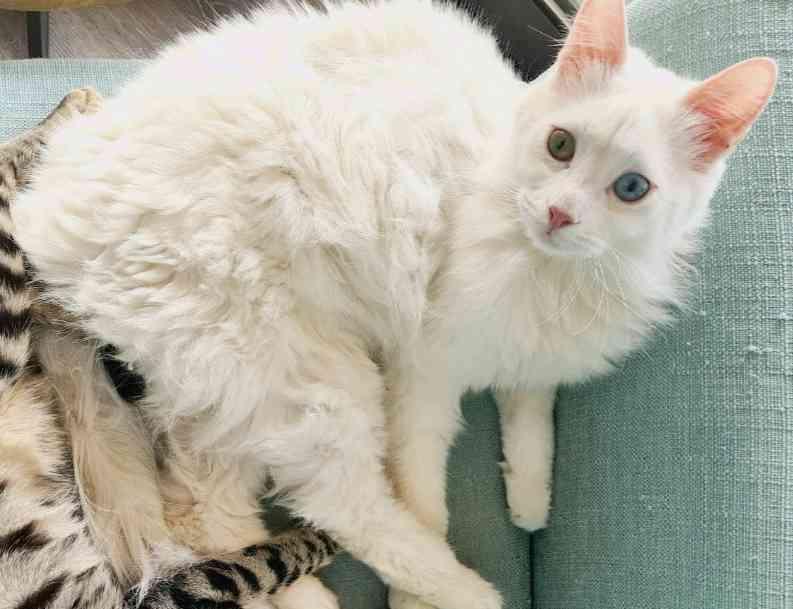 İstanbul, cekmekoy! mavi-yesil gözlü Ankara kedim kayıp