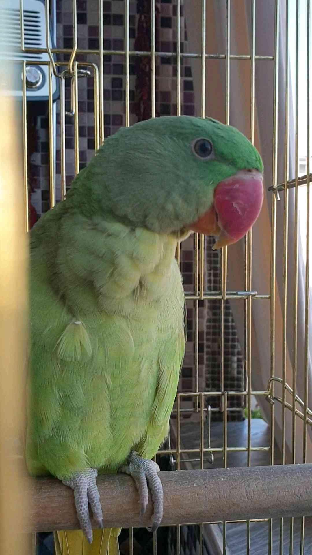 Kayıp Papağan