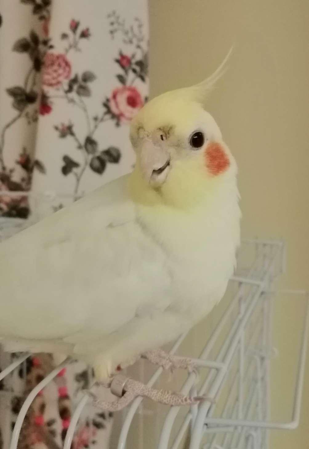 Sultan papağanı (kamil)