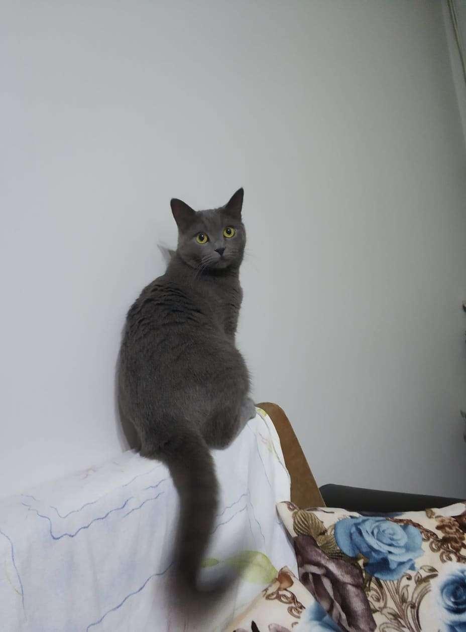 Bakırköy-kartaltepe mahallesi bitişik bağlar sokak civarında kayıp British kedi