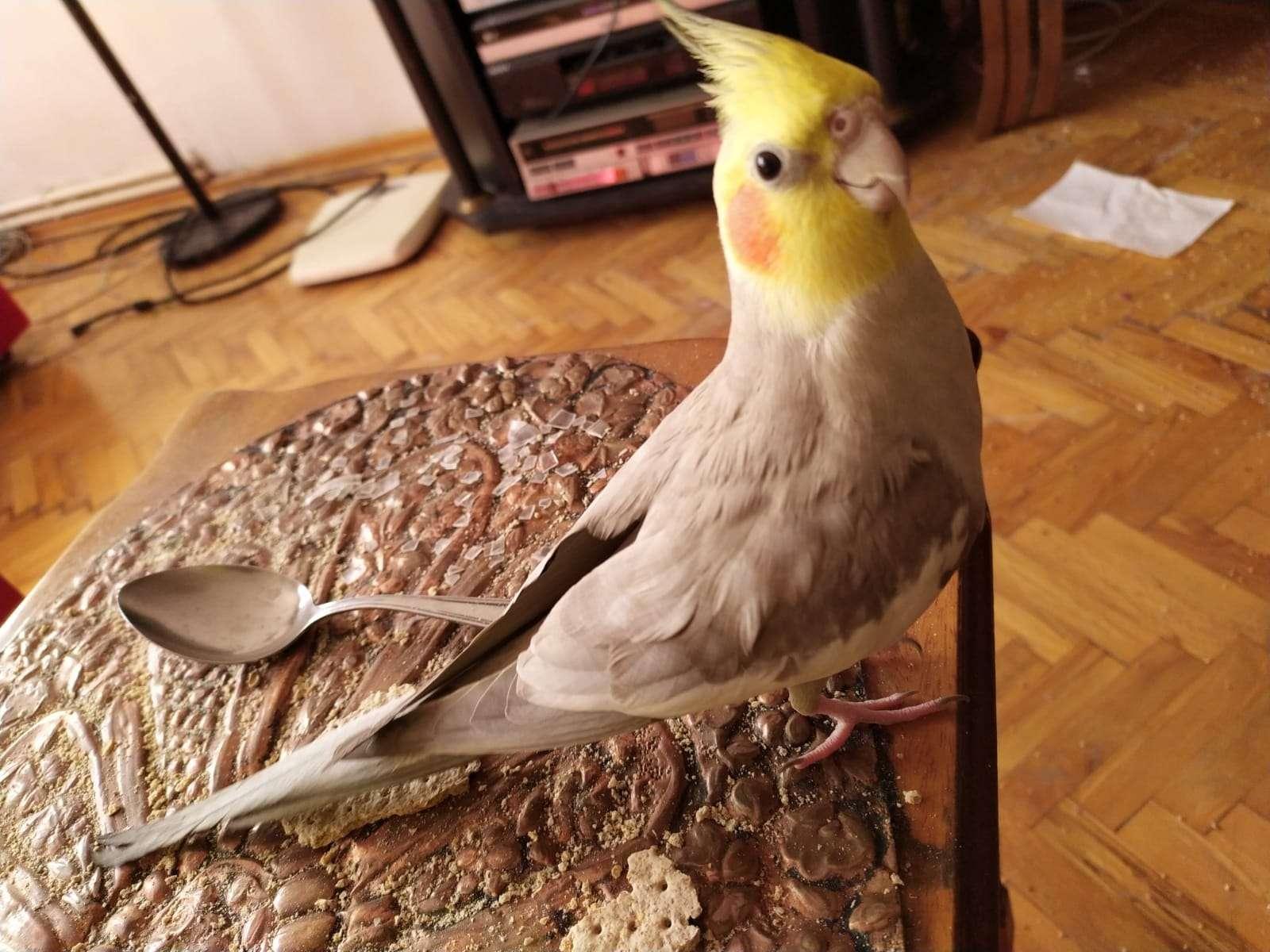 Emek Mah. Metro İst. Yakını Kayıp Sultan Papağanı Hoshi