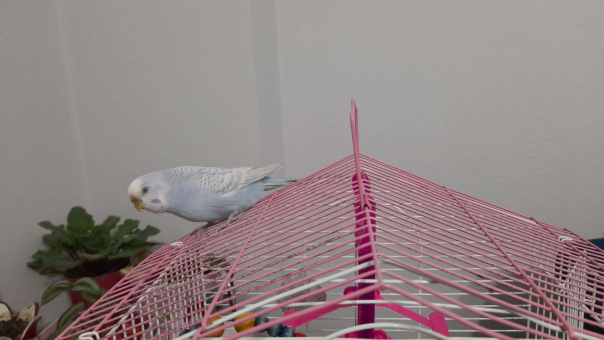 Maviş kuşum kayboldu