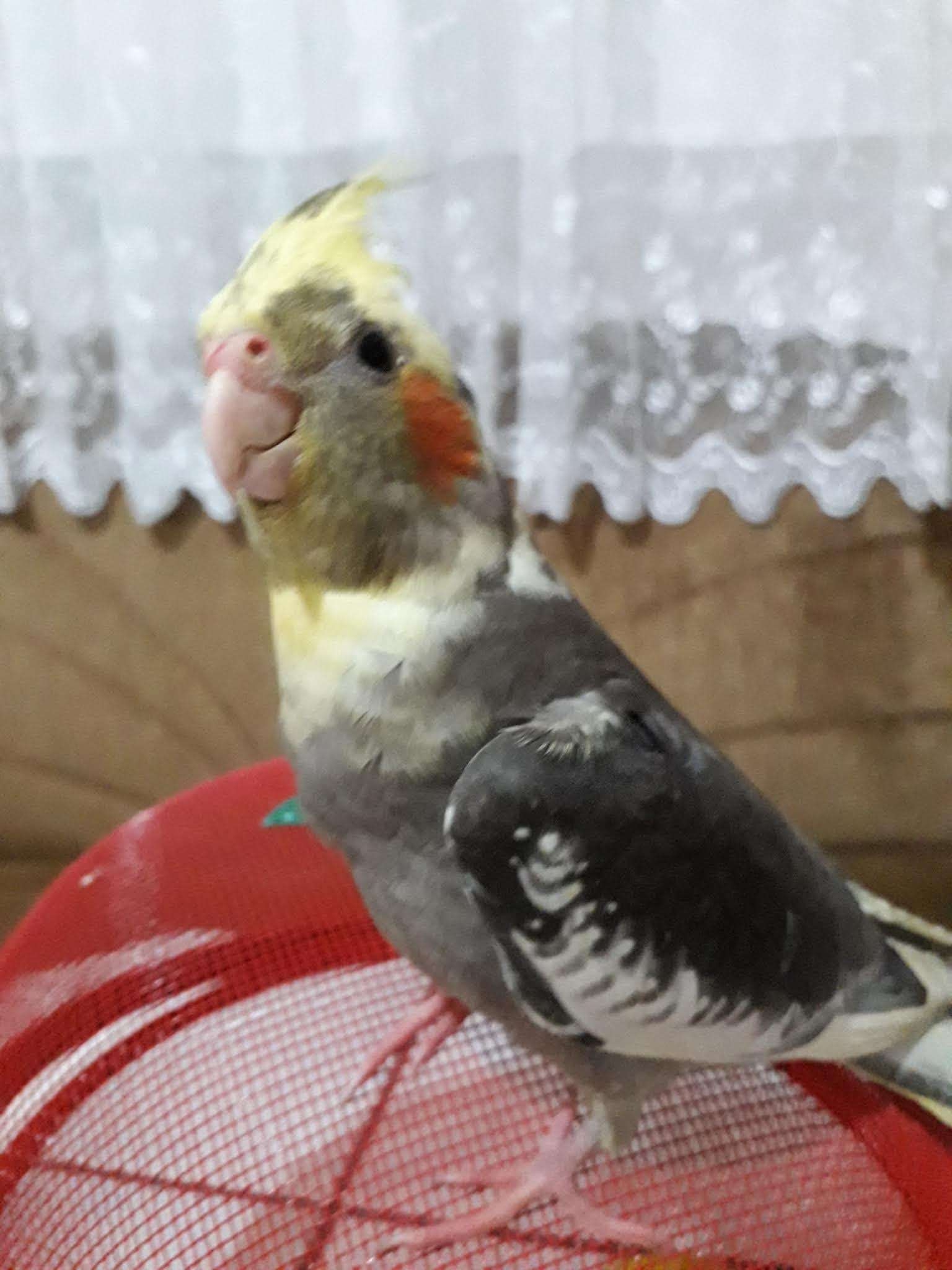 Sultan papağan şaşkın kayıp