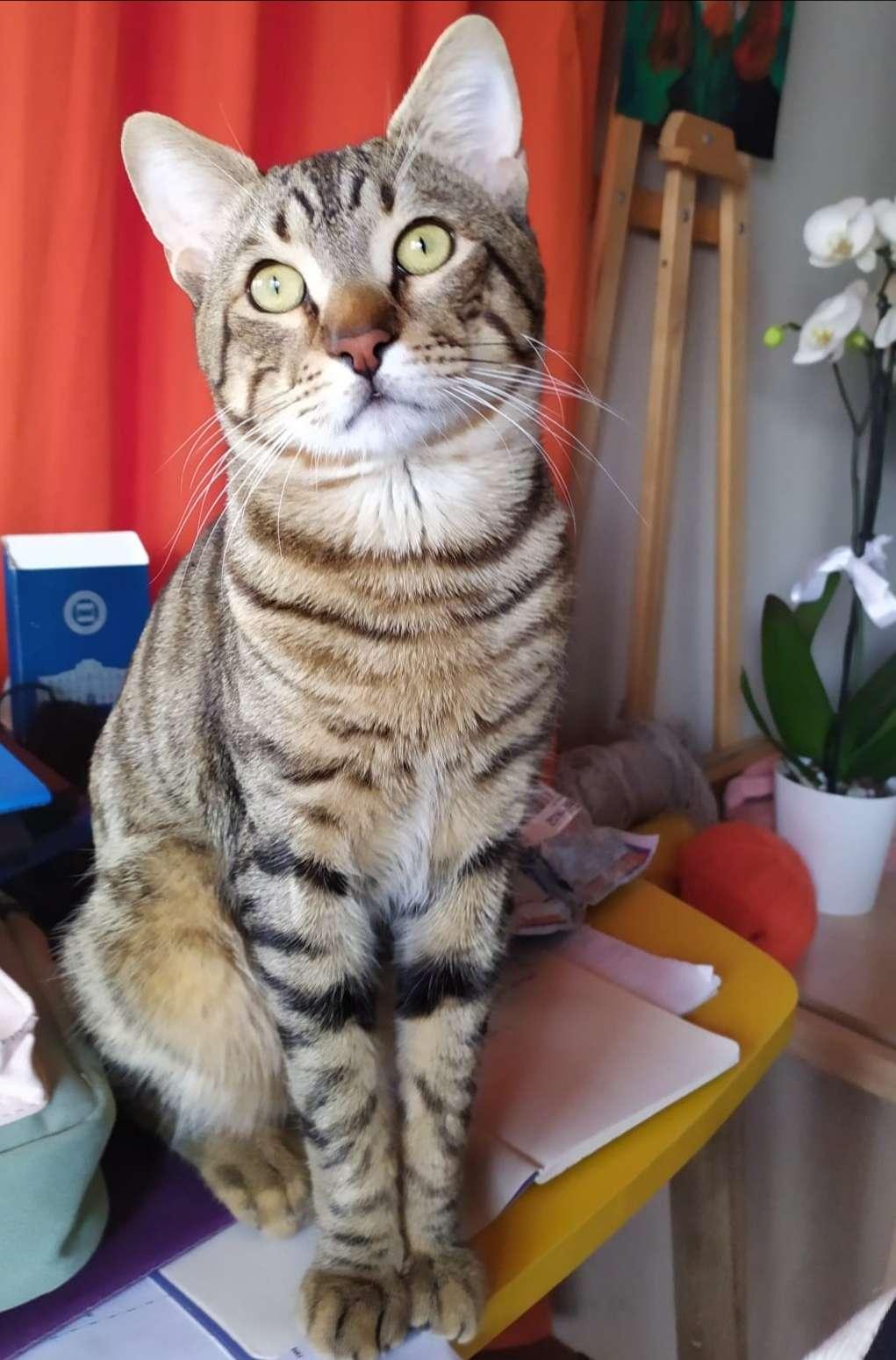 Şile Serintepe'de tekir kedimiz kayıp