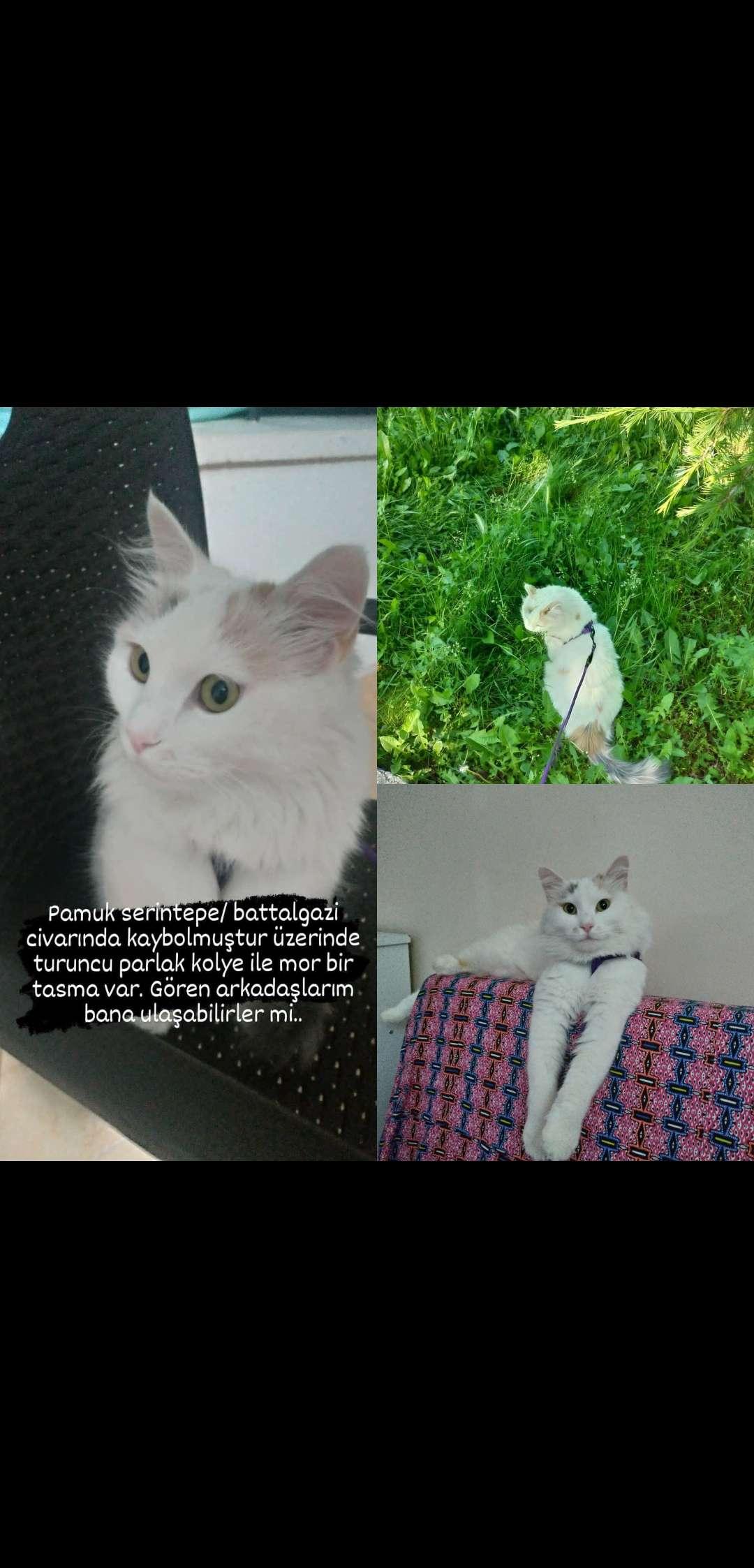 Kedim Pamuk kayıp