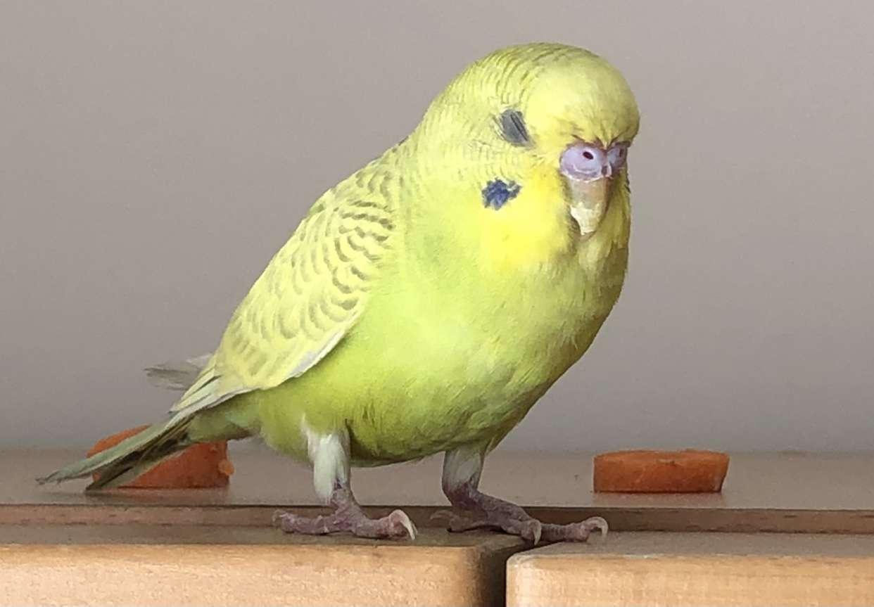 Muhabber Kuşu Bulundu