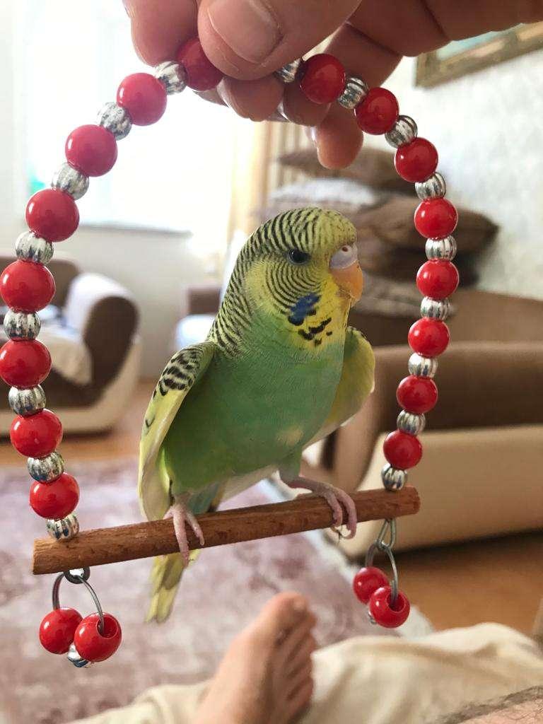 Muhabbet kuşum kayboldu sarı yeşil renk