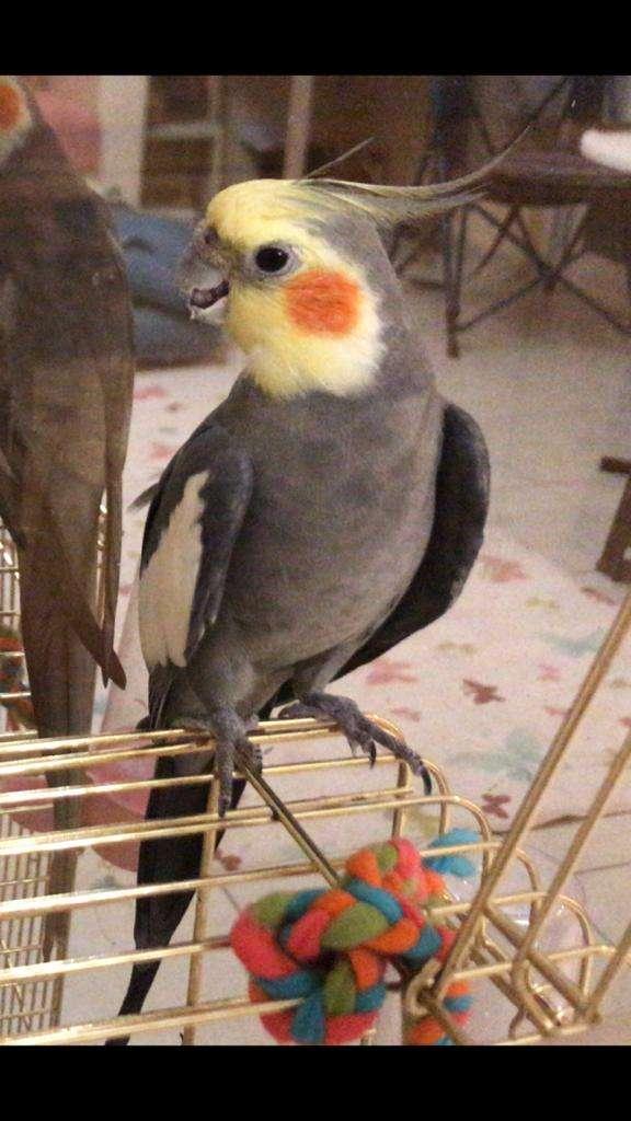 Kayıp Gri Sultan Papağanı