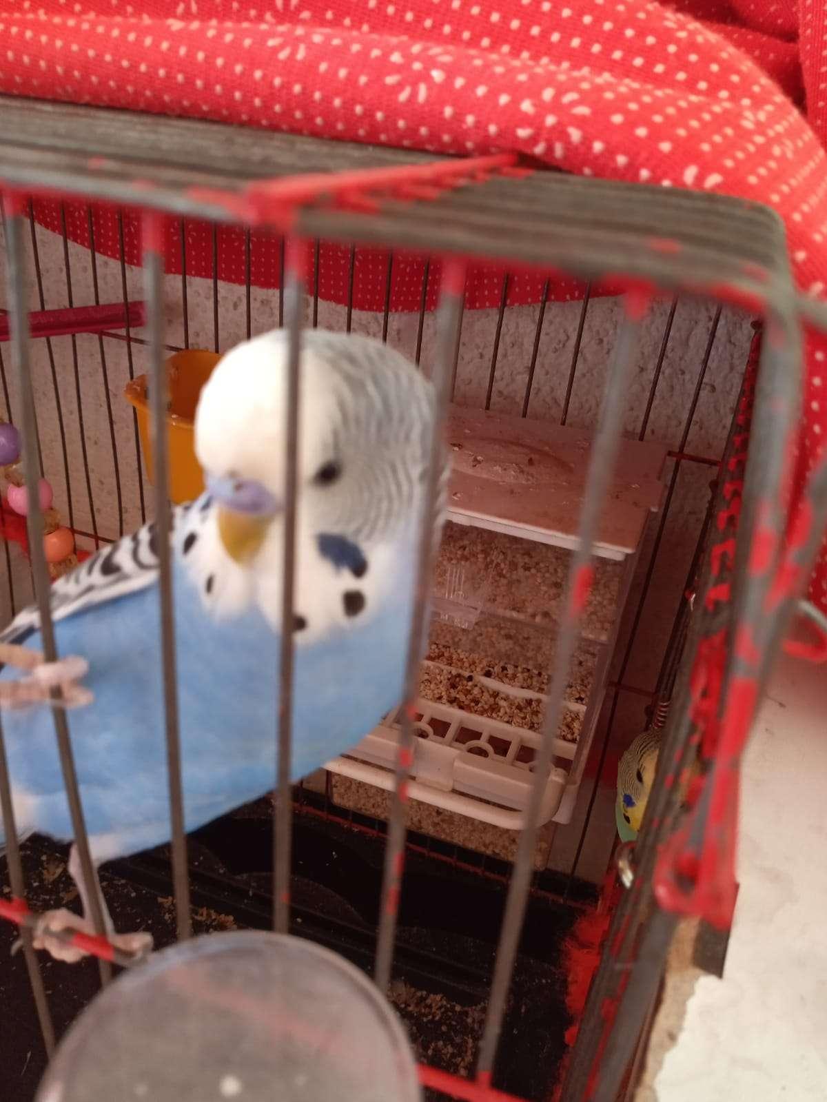 kayıp muhabbet kuşu
