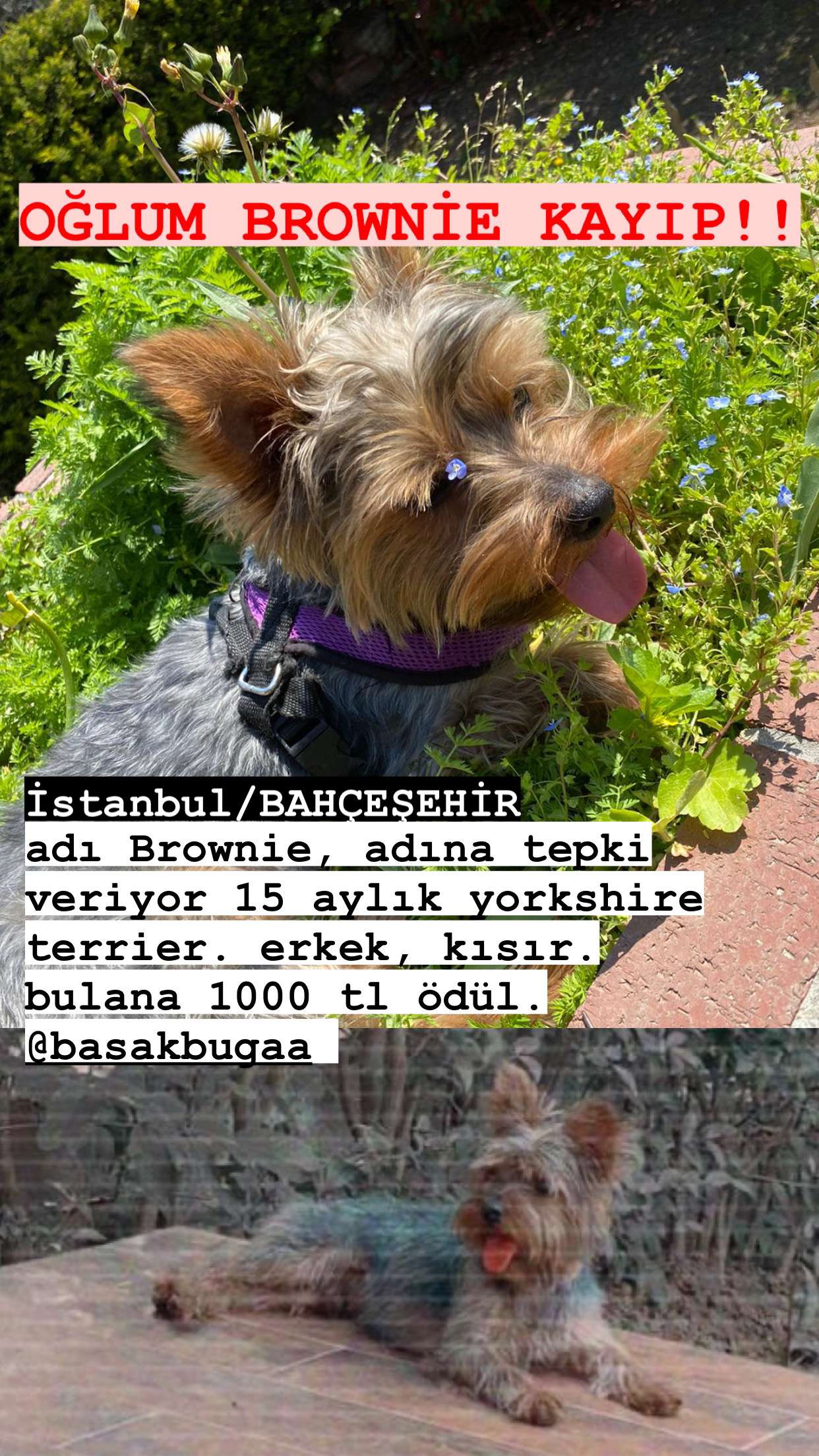 OĞLUM BROWNİE KAYIP!!