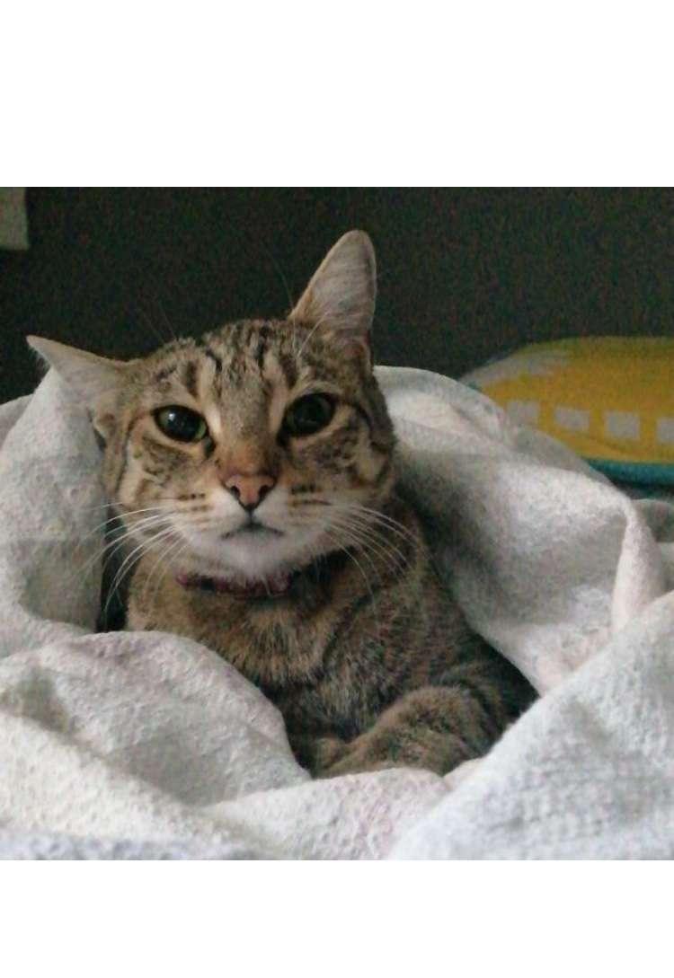 Tekir cinsi kedim kayıp adı poti