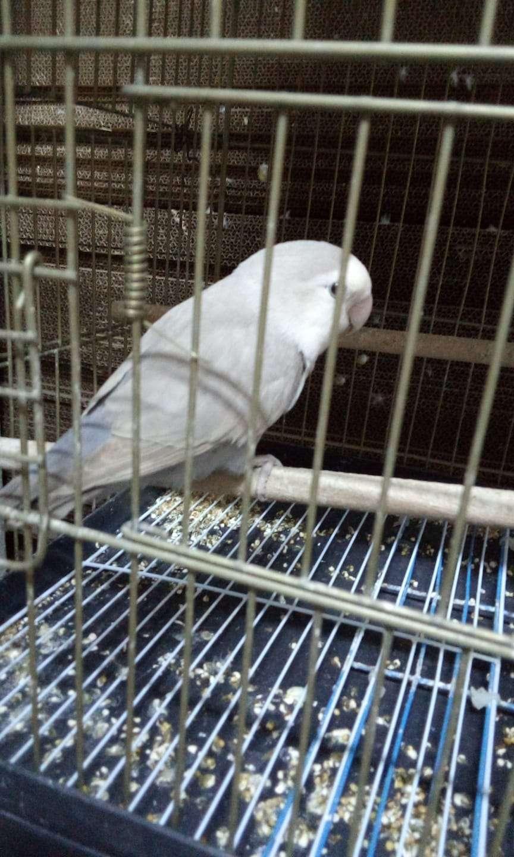 mavi gri forpus papağanı