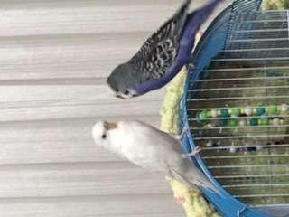 Acil kuşum kaybodlu