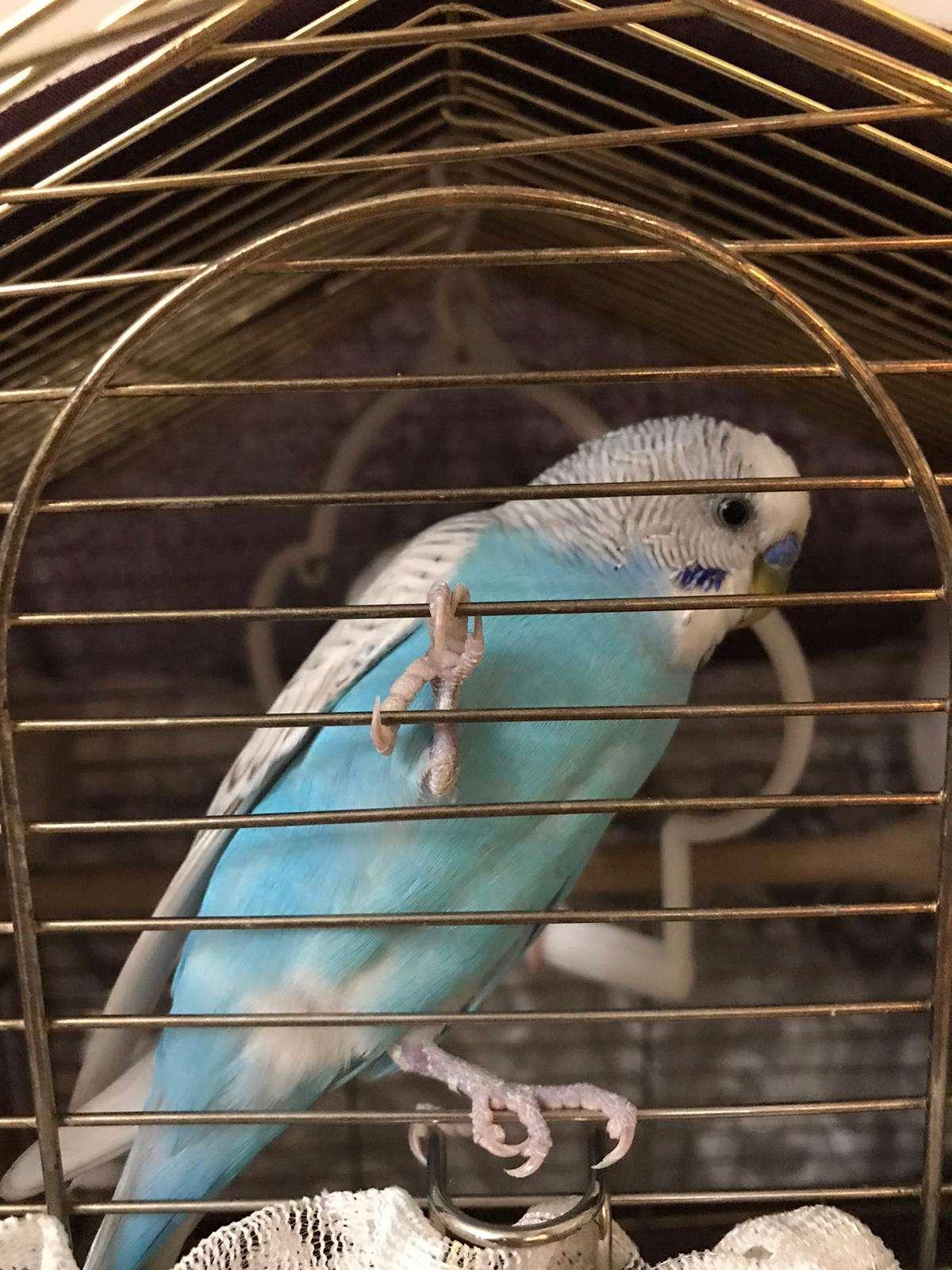 Kayıp Muhabbet Kuşu Sahibi Aranıyor