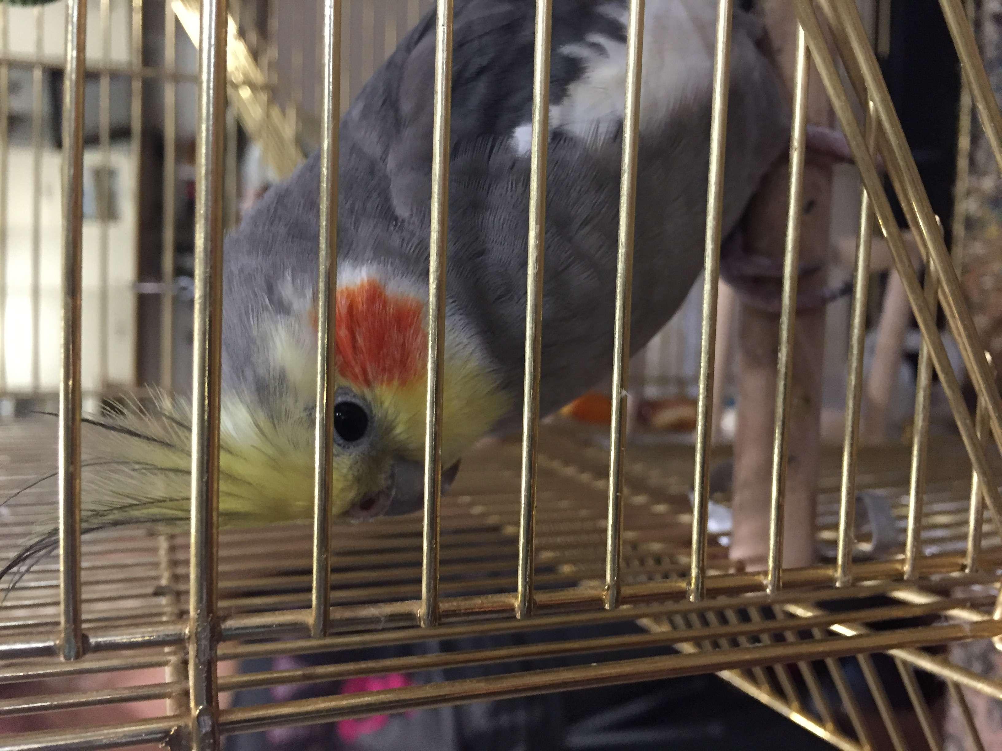 Yakuplu Kent Ormanı yakınlarında kayıp Sultan papağanı