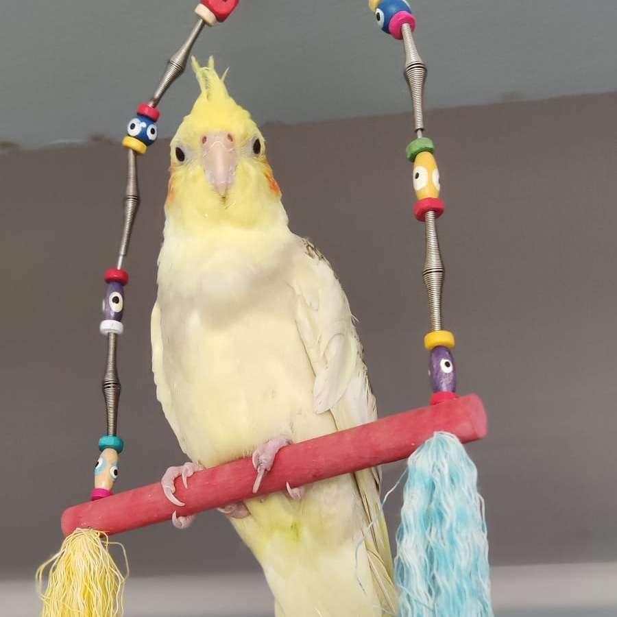 Sultan papağanı MİNİK