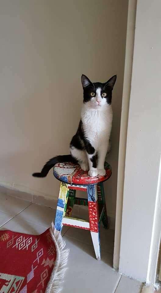 Ümitköy'de kayıp kedi