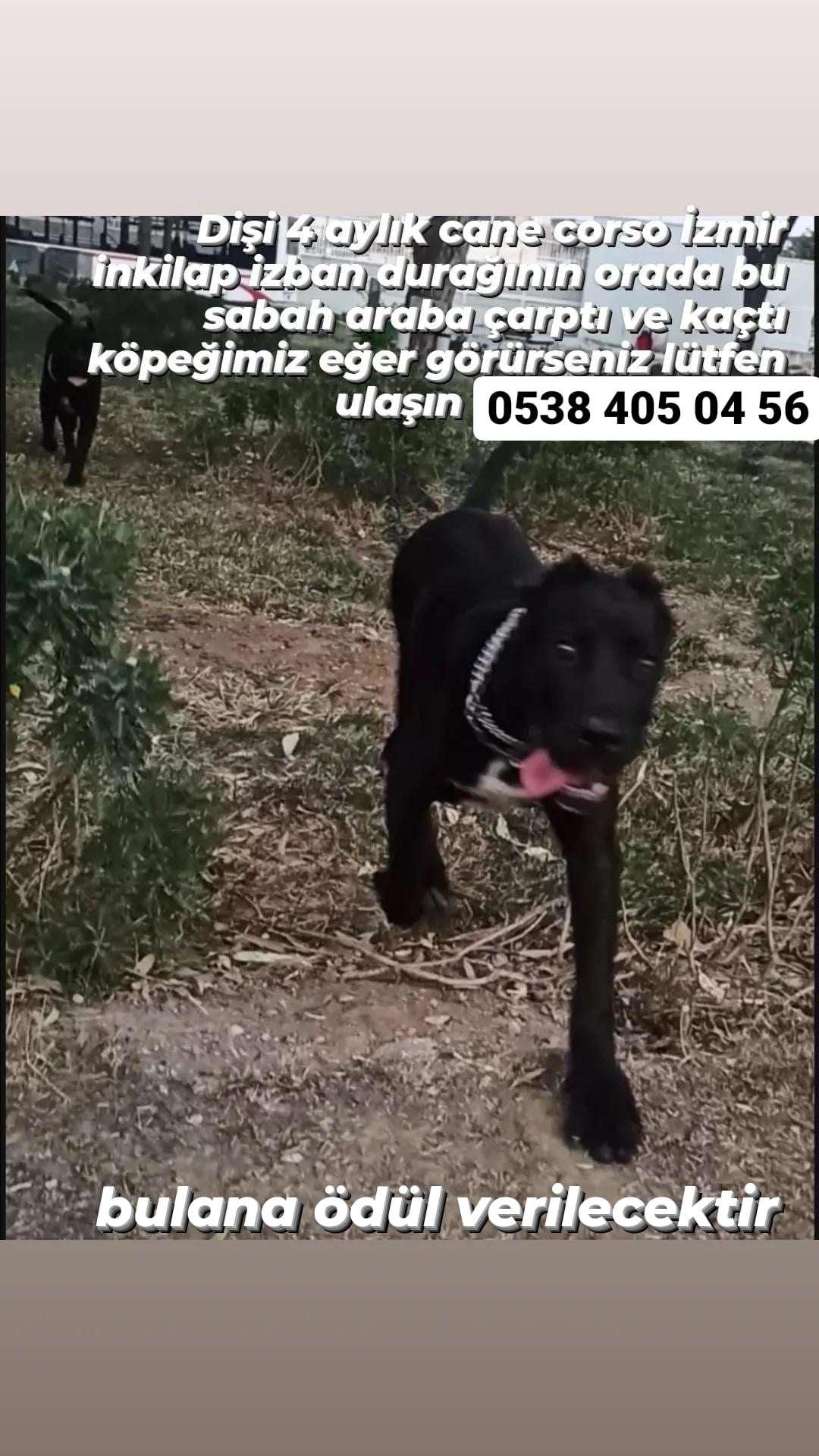4 aylık dişi cane corso kayıp İzmir Buca Göksu mahallesi