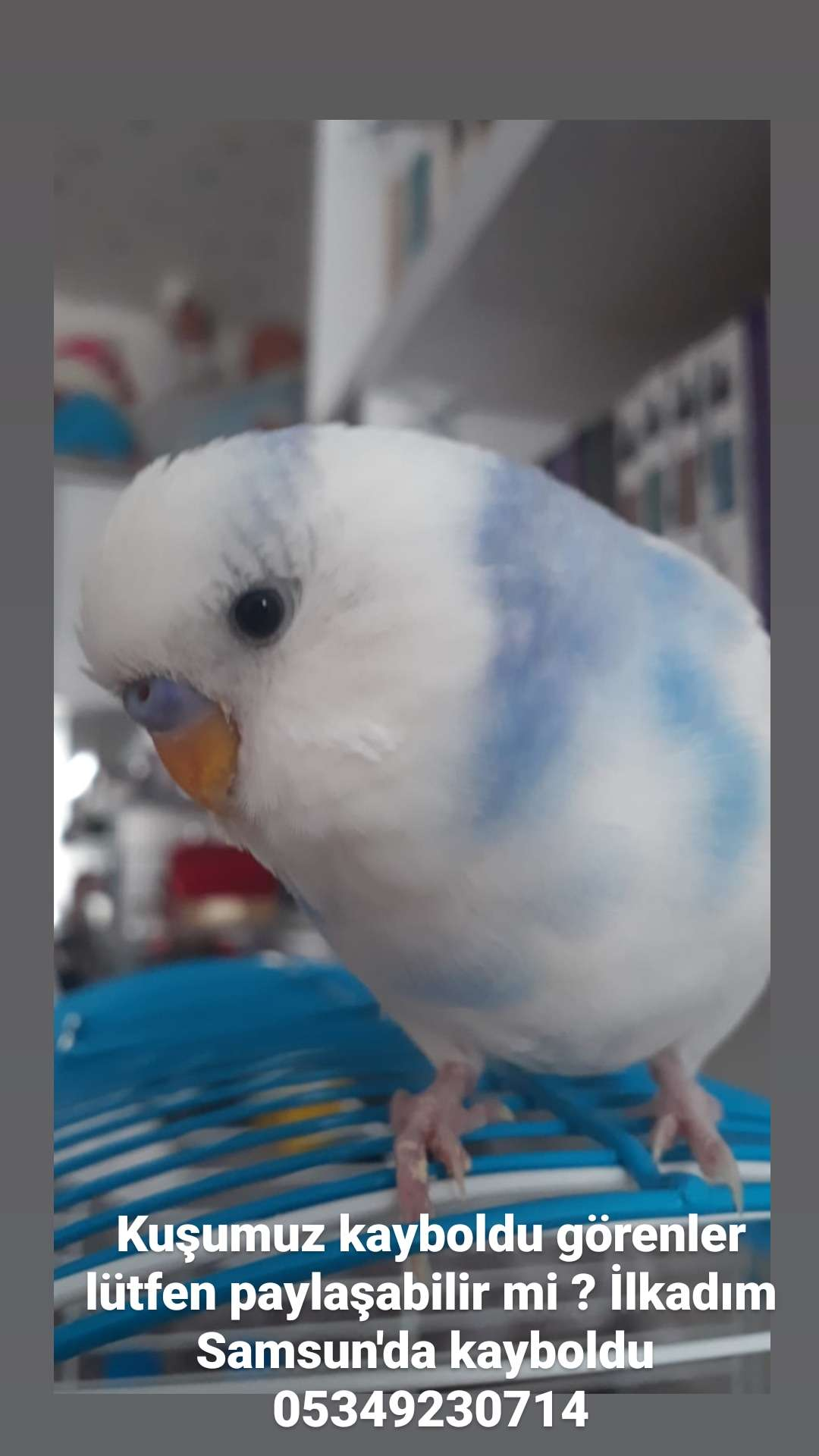 Muhabbet kuşum kayboldu