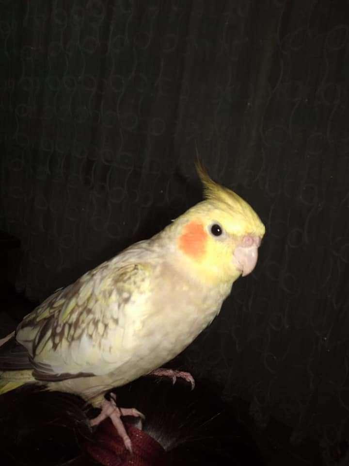 Sultan papağanımız kayıp