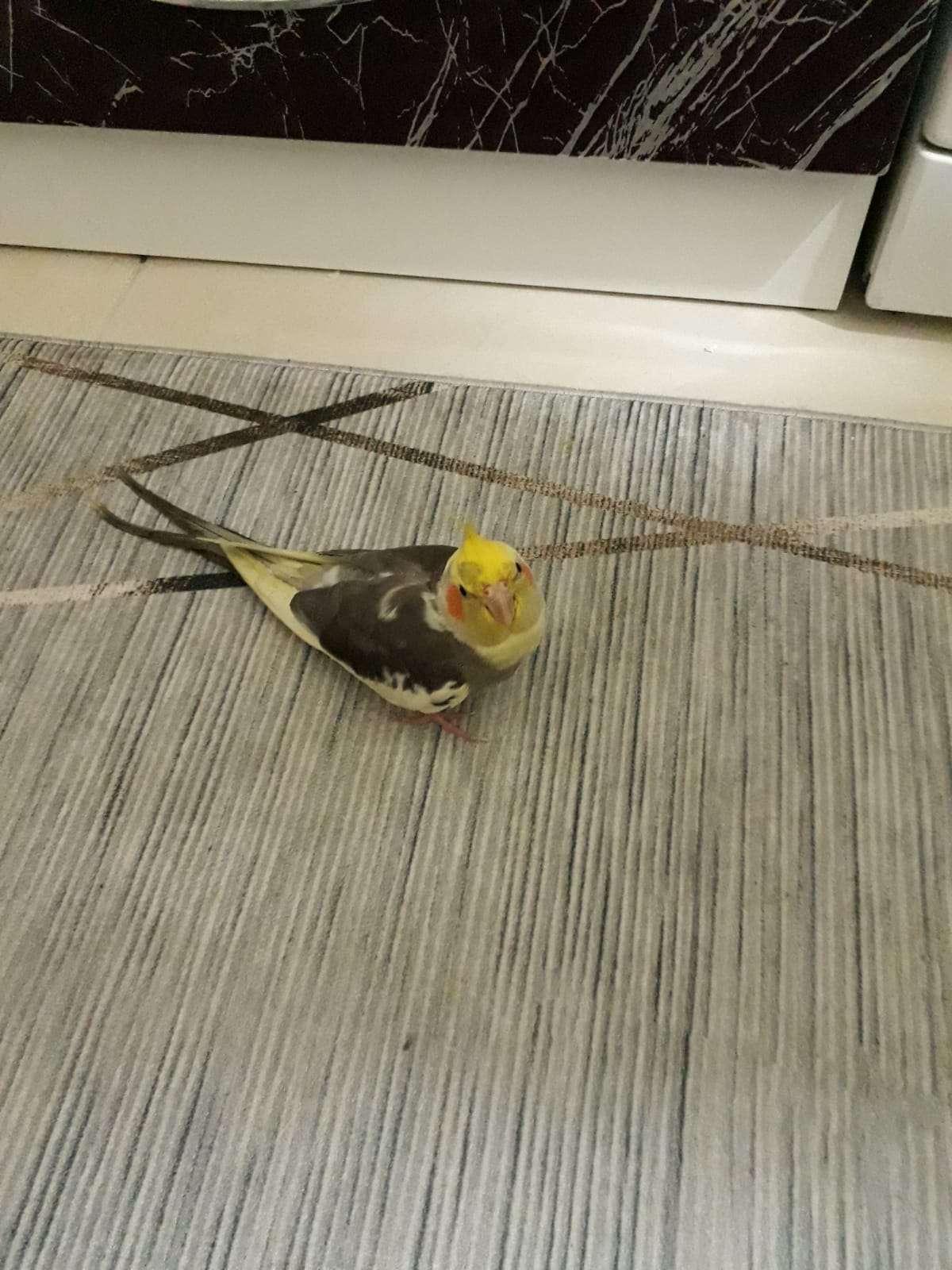Sultan Papağanı Şımarık Kayıp