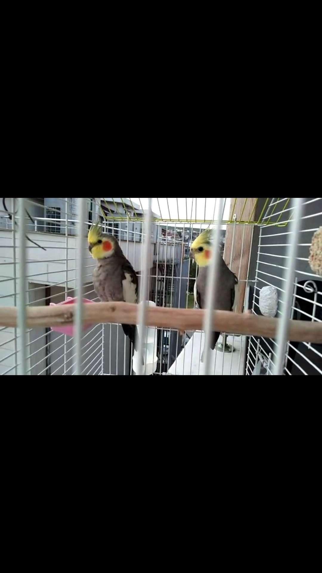 Kayıp sultan papağanları