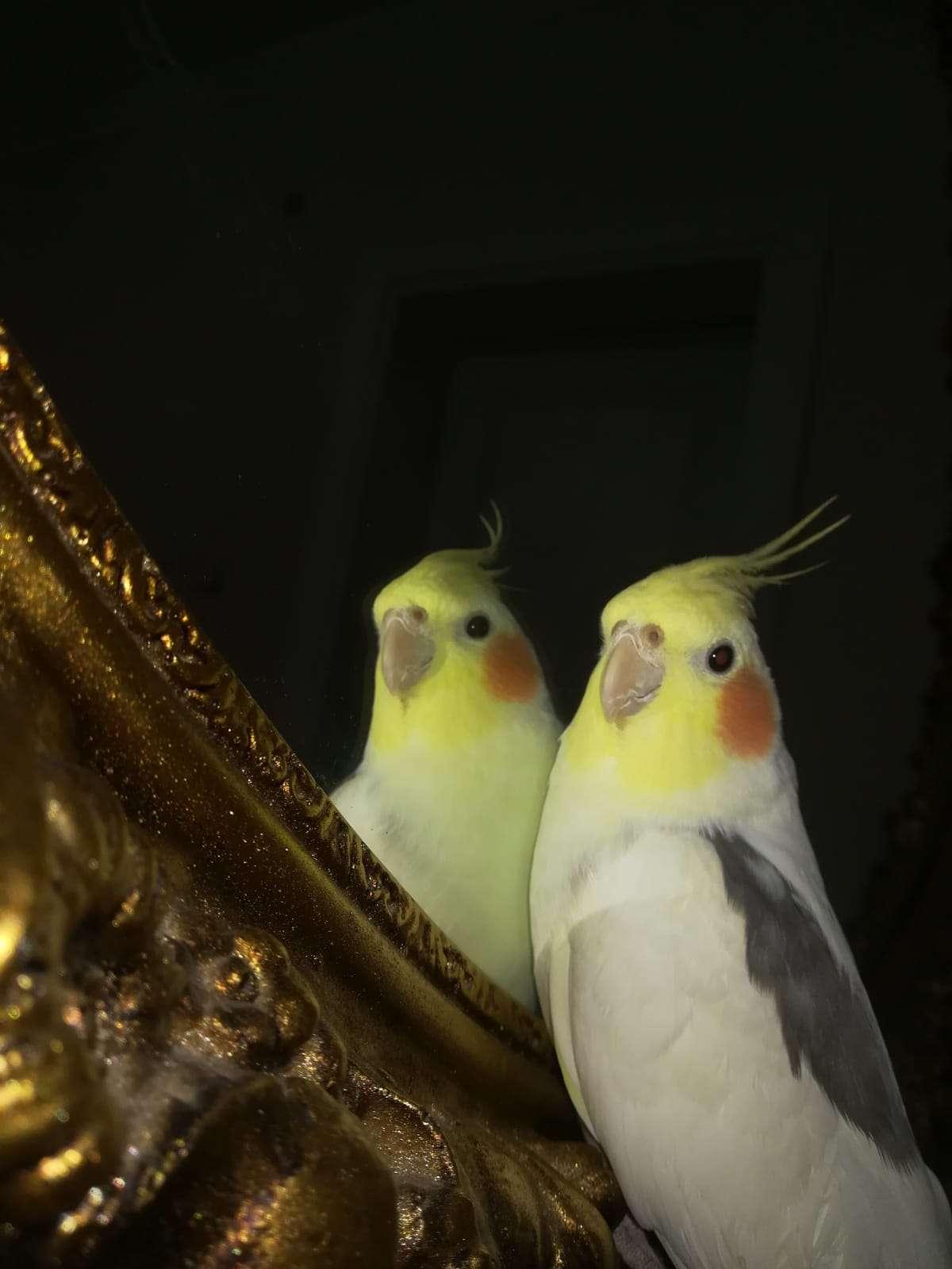 ÖDÜLLÜ sultan papağanı ciklet kayboldu
