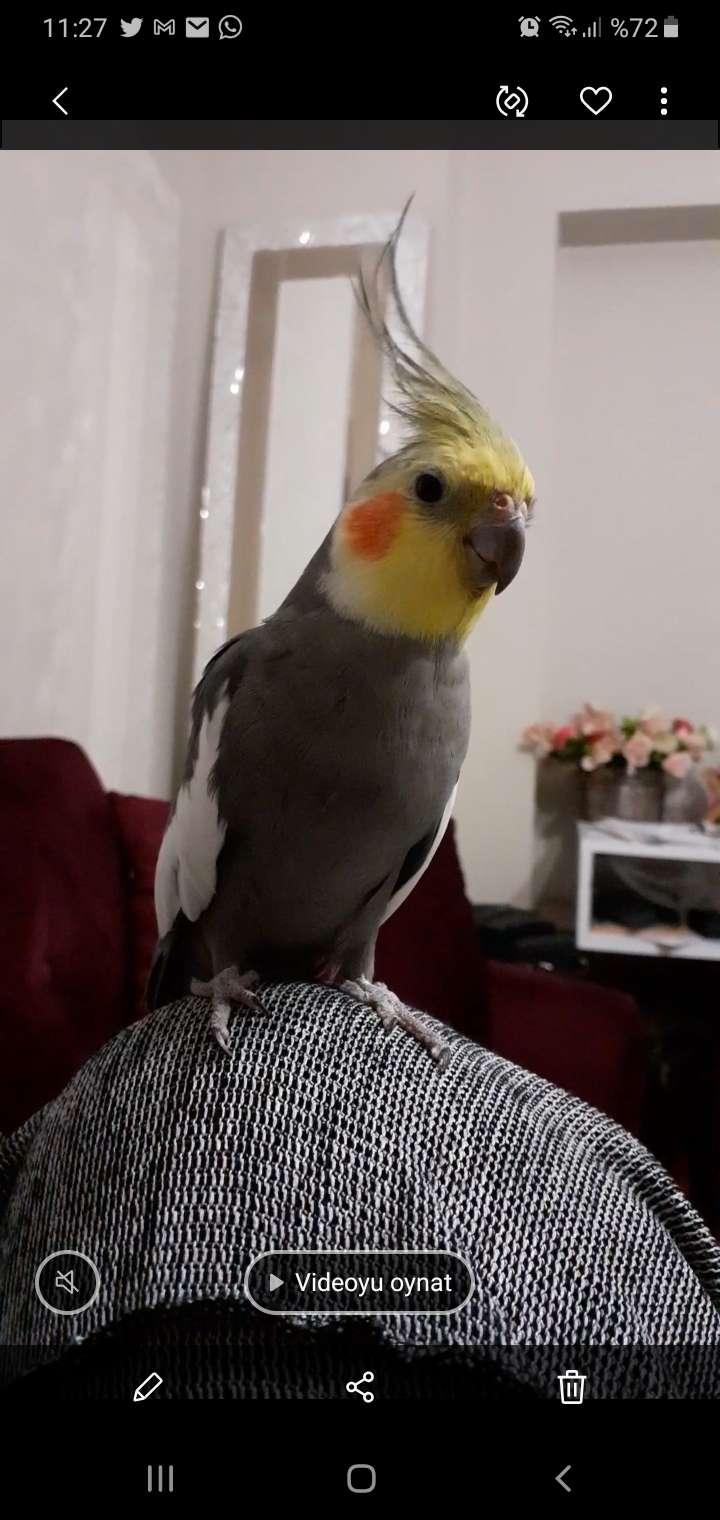 Sultan papağanı-Gri