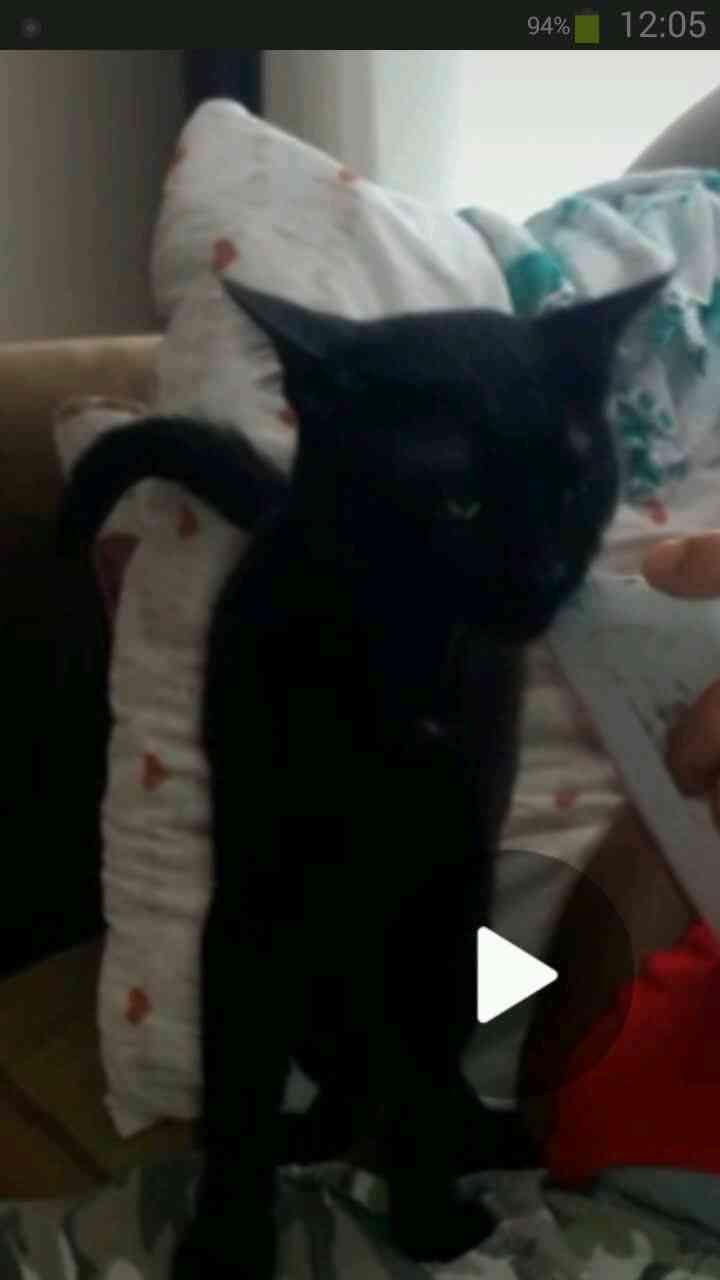 Siyah bombai cinsi erkek 1.2 yas arasi kedim kayip