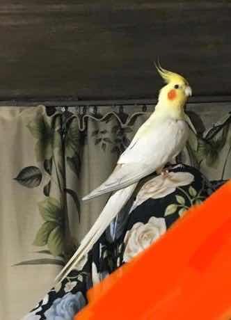 Beyoğlu Hasköy'de sultan papağanım şeker kaçtı