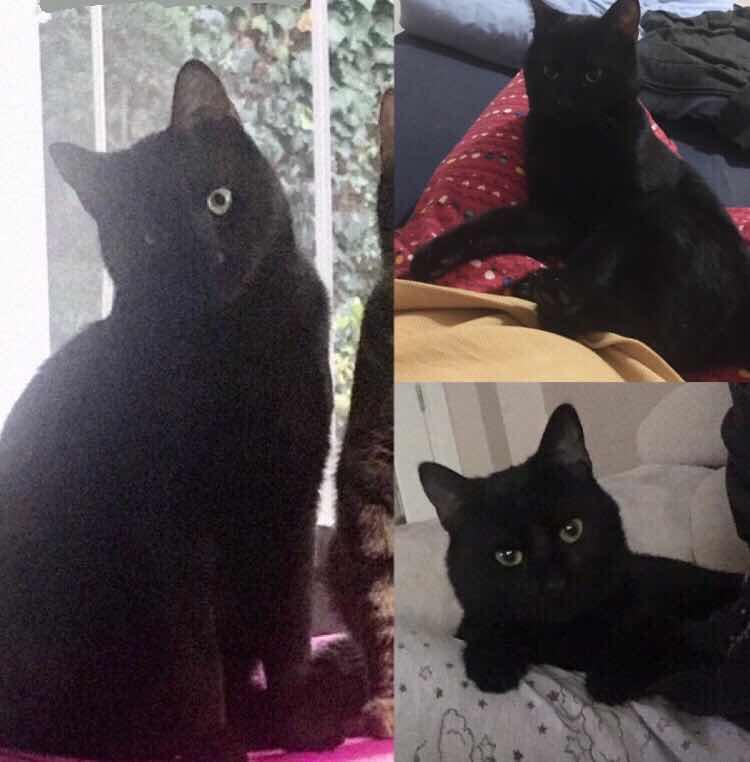 İstanbul Bahçeşehir'de Siyah Kedim Kayboldu