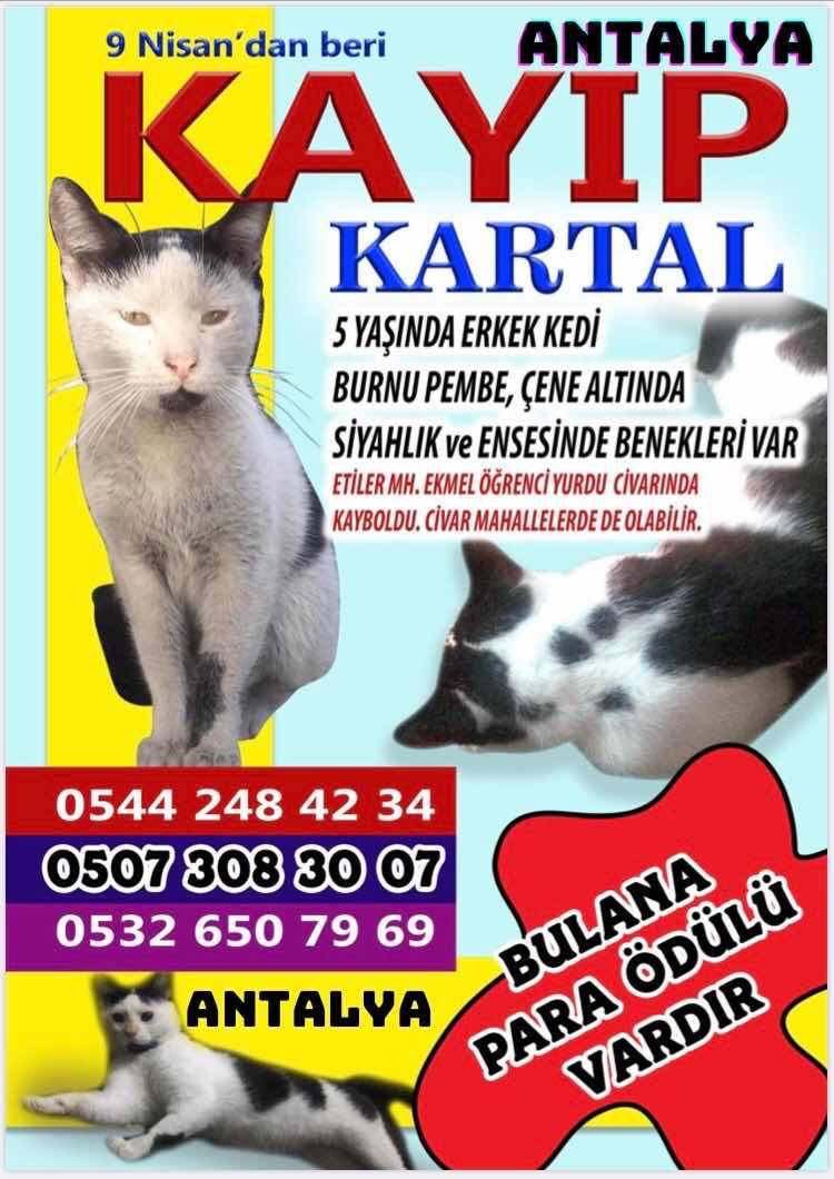 kayip kedi :Antalya merkez Etiler mahallesi